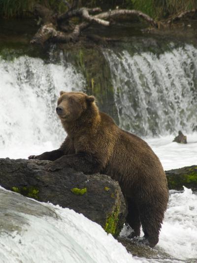 Brown Bear, Brooks Camp, Katmai National Park, Alaska, United States of America, North America-Richard Maschmeyer-Photographic Print