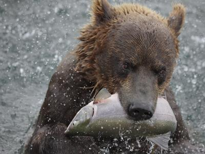 Brown Bear Catches a Pink Salmon Fish in Kuril Lake-Randy Olson-Photographic Print