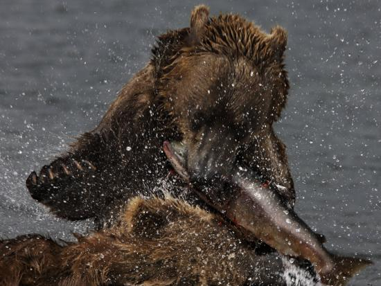Brown Bear Catches a Salmon Fish in Kuril Lake-Randy Olson-Photographic Print