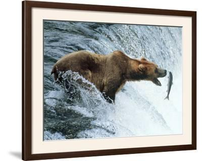 Brown Bear Catching a Fish--Framed Photographic Print