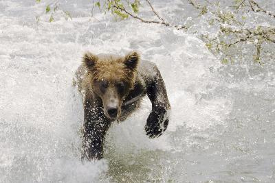 Brown Bear Charging Through Water Brooks River Katmai National Park Southwest Alaska Summer-Design Pics Inc-Photographic Print