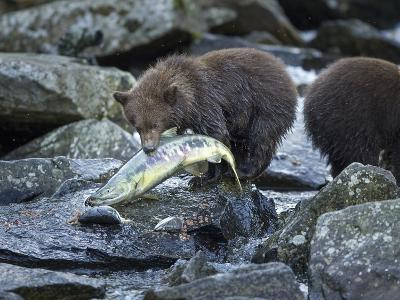 Brown Bear Cub and Huge Salmon, Katmai National Park, Alaska-Paul Souders-Photographic Print