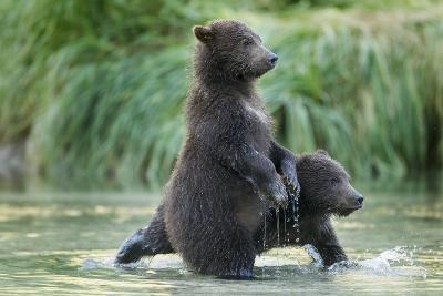 Brown Bear Cubs, Katmai National Park, Alaska-Paul Souders-Photographic Print