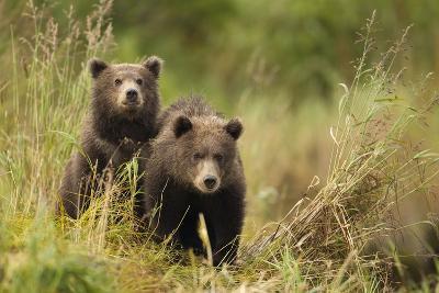 Brown Bear Cubs, Katmai National Park, Alaska--Photographic Print