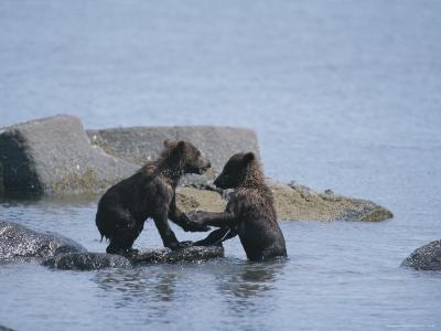 Brown Bear Cubs Playing on a Rocky Shore--Photographic Print