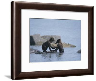 Brown Bear Cubs Playing on a Rocky Shore--Framed Photographic Print