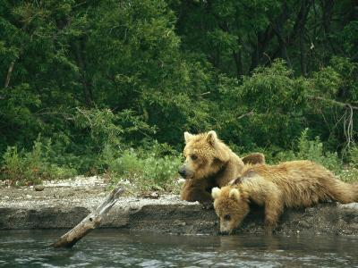 Brown Bear Cubs Resting on a River Bank-Klaus Nigge-Photographic Print