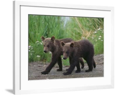 Brown Bear Cubs Walking on Path-DLILLC-Framed Photographic Print