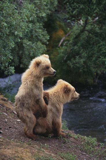 Brown Bear Cubs-DLILLC-Photographic Print