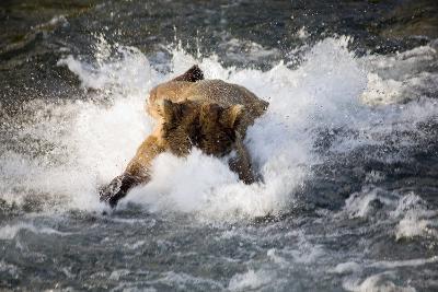 Brown Bear Dives into Brooks River for Salmon Katmai National Park Southwest Alaska Summer-Design Pics Inc-Photographic Print