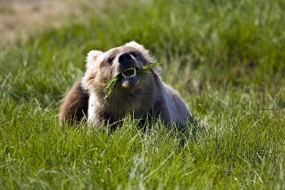 Brown Bear Eating Sedge Grass in the Kaguyak Area of Katmai National Park, Alaska-Design Pics Inc-Photographic Print