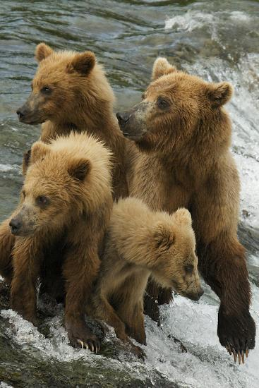 Brown Bear Family Bothered by Another Bear Approaching-Barrett Hedges-Photographic Print