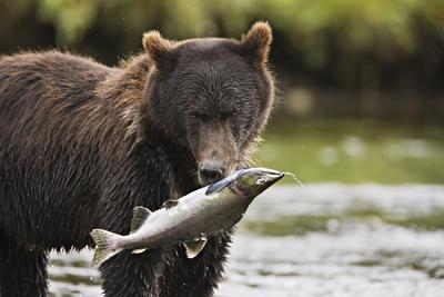 Brown Bear Feeds on Spawning Pink Salmon-Design Pics Inc-Photographic Print