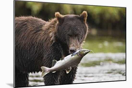 Brown Bear Feeds on Spawning Pink Salmon-Design Pics Inc-Mounted Photographic Print