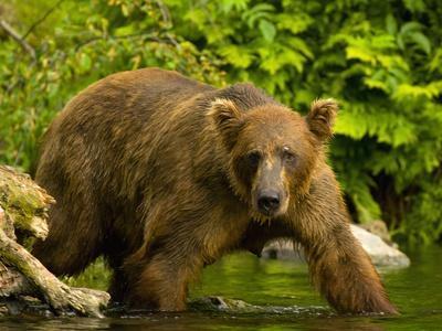 Brown Bear Fishing For Salmon-Blaine Harrington-Photographic Print