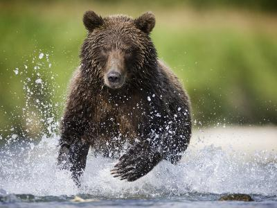 Brown Bear Fishing for Spawning Salmon at Geographic Harbor-Paul Souders-Photographic Print