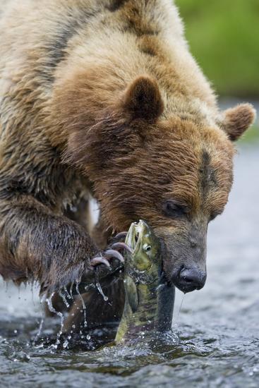 Brown Bear Fishing in Salmon Stream in Alaska-Paul Souders-Photographic Print