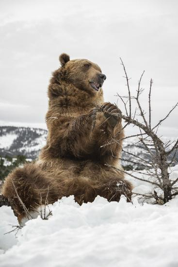 Brown Bear (Grizzly) (Ursus Arctos), Montana, United States of America, North America-Janette Hil-Photographic Print
