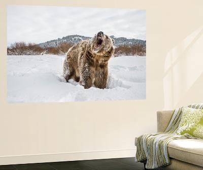 Brown Bear (Grizzly) (Ursus Arctos), Montana, United States of America, North America-Janette Hil-Wall Mural
