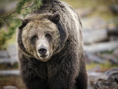 Brown Bear, Grizzly, Ursus Arctos, West Yellowstone, Montana-Maresa Pryor-Photographic Print