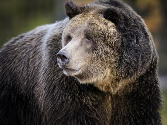 Brown Bear, Grizzly, Ursus arctos, Yellowstone, Montana.-Maresa Pryor-Photographic Print