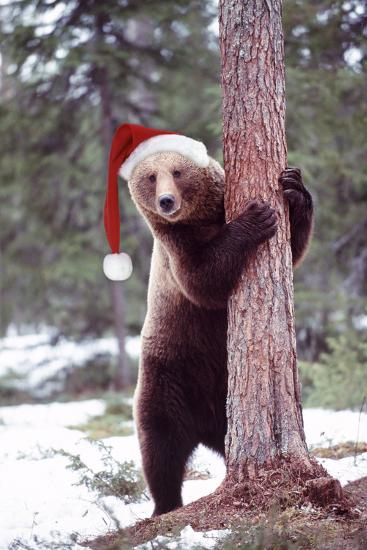 Brown Bear Hugging Tree, Wearing Christmas Hat--Photographic Print