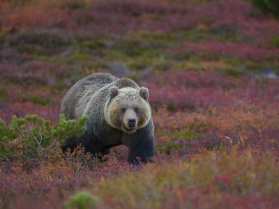 Brown Bear in a Field of Blueberries and Tundra-Michael Melford-Photographic Print