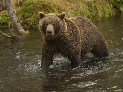 Brown Bear in a Stream-Michael Melford-Photographic Print