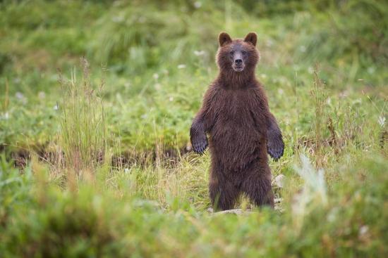 Brown Bear in Coastal Meadow in Alaska-Paul Souders-Photographic Print