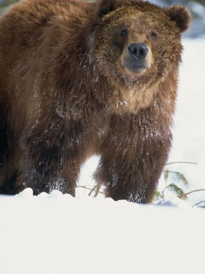 Brown Bear in Snow, North America-Murray Louise-Photographic Print