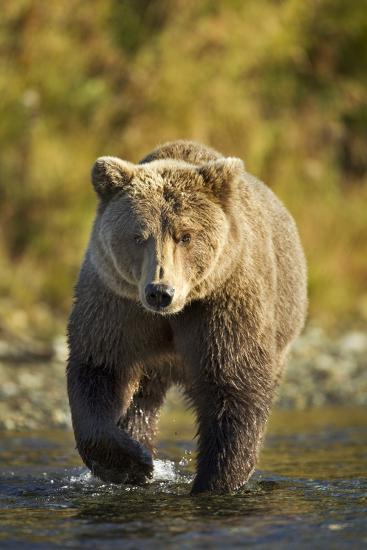 Brown Bear, Katmai National Park, Alaska-Paul Souders-Photographic Print