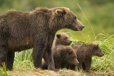 Brown Bear, Katmai National Park, Alaska--Photographic Print