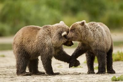 https://imgc.artprintimages.com/img/print/brown-bear-katmai-national-park-alaska_u-l-pzmrhi0.jpg?p=0