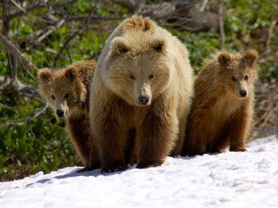 Brown Bear Mother with Cubs, Valley of the Geysers, Kronotsky Zapovednik, Russia-Igor Shpilenok-Photographic Print