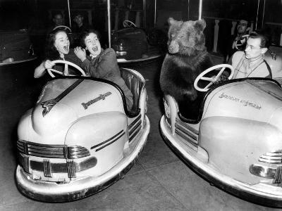 Brown Bear of Bertram Mills Circus in Bumper Cars Dodgems December 15, 1954--Photo