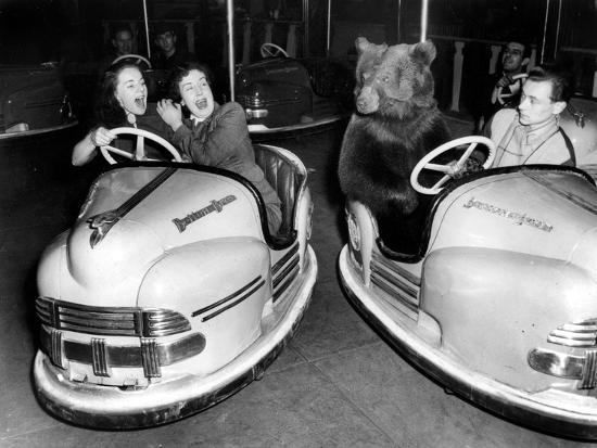 Brown Bear of Bertram Mills Circus in Bumper Cars Dodgems December 15, 1954--Photo