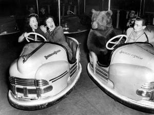 Brown Bear of Bertram Mills Circus in Bumper Cars Dodgems December 15, 1954