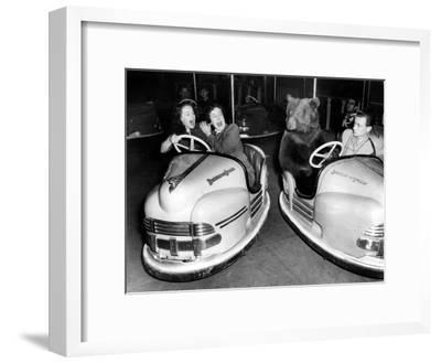 Brown Bear of Bertram Mills Circus in Bumper Cars Dodgems December 15, 1954--Framed Photo