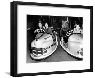 Brown Bear of Bertram Mills Circus in Bumper Cars Dodgems December 15, 1954