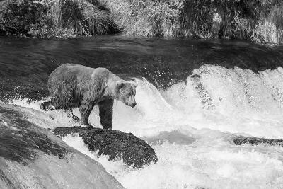 Brown Bear on Alaska-Andrushko Galyna-Photographic Print