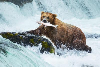 Brown Bear on Alaska-Galyna Andrushko-Photographic Print
