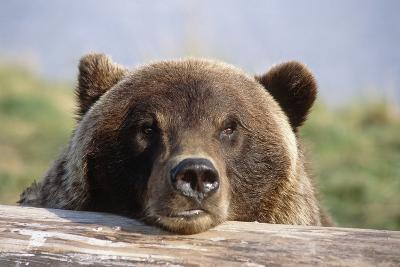 Brown Bear Resting on Log Alaska Wildlife Converation Center Summer Sc Alaska-Design Pics Inc-Photographic Print