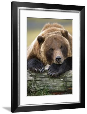 Brown Bear Rests with it Front Legs Outstrenched on a Log, Alaska Wildlife Conservation Center-Design Pics Inc-Framed Photographic Print