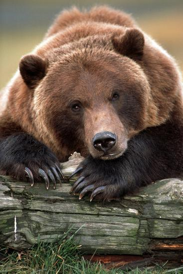 Brown Bear Rests with it Front Legs Outstrenched on a Log, Alaska Wildlife Conservation Center-Design Pics Inc-Photographic Print