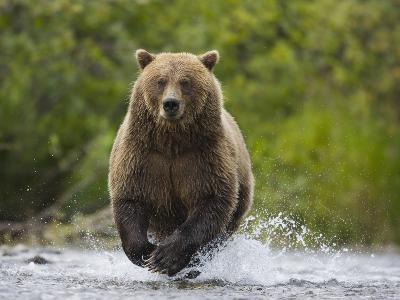Brown bear running to catch salmon in a river-Theo Allofs-Photographic Print