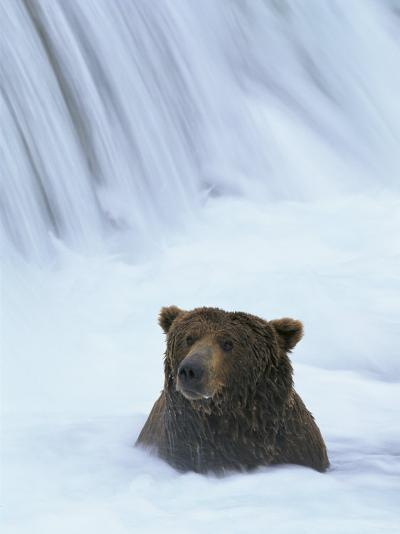Brown Bear Sits in Froth of Waterfall During Salmon Spawning-Michael Melford-Photographic Print