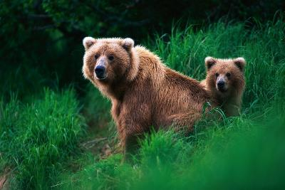 Brown Bear Sow and Cub--Photographic Print