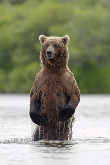 Brown Bear Sow Standing-Design Pics Inc-Photographic Print