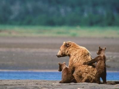 Brown Bear Sow with Cubs, Alaska Peninsula, Katmai National Park, Alaska, USA-Dee Ann Pederson-Photographic Print