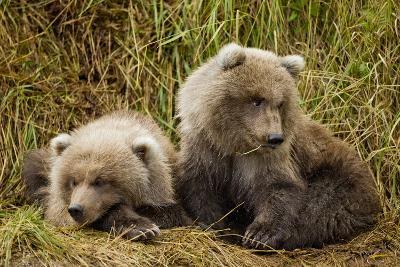Brown Bear Spring Cubs, Katmai National Park, Alaska-Paul Souders-Photographic Print